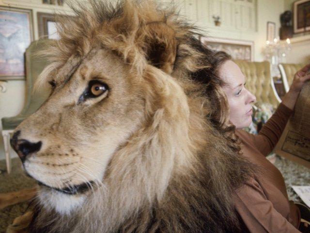 Já imaginou ter um leão de estimação? Conheça Neil, o leão doméstico!
