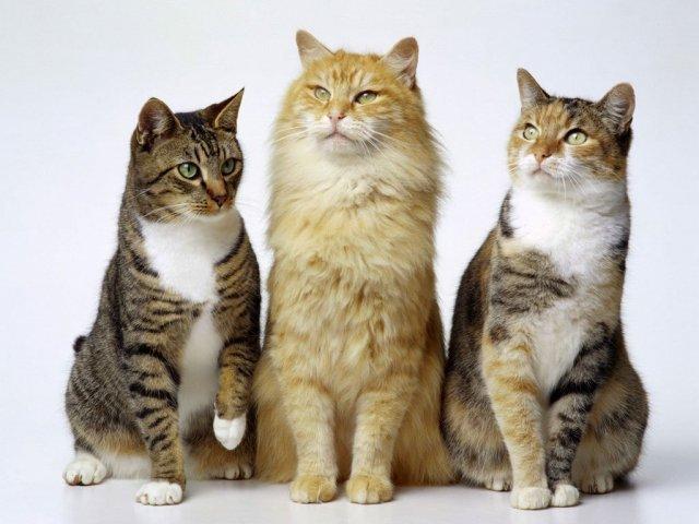 Você sabe tudo sobre as raças de gato?