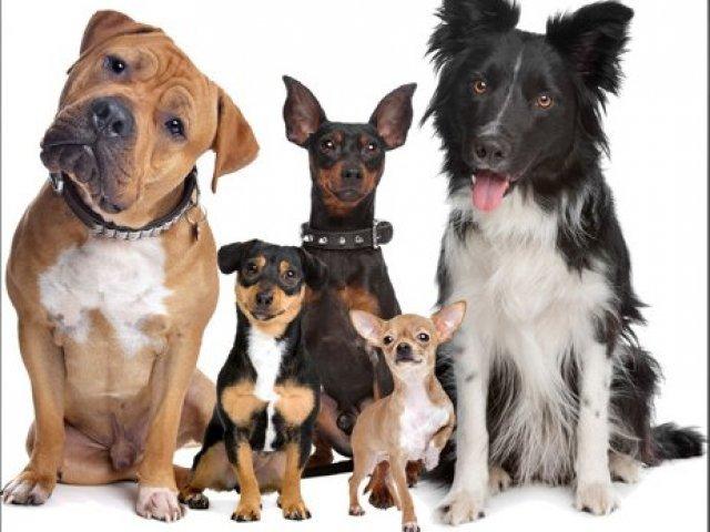 Sabe tudo sobre as raças de cachorro? Parte 2