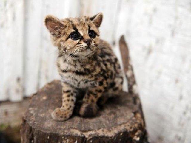 10 animais brasileiros amea ados de extin o quizur - Bichos en casa fotos ...
