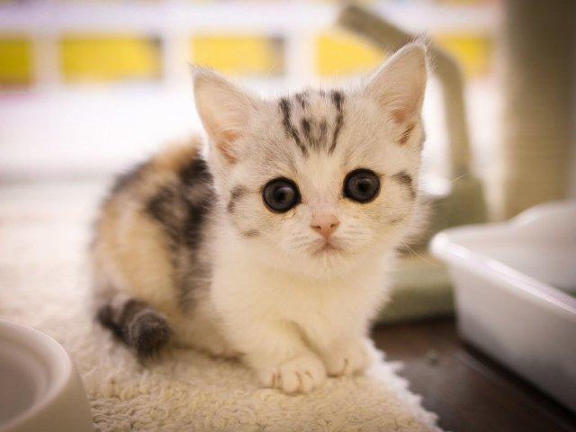 Top 10 raças raras de gatos