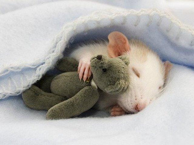 você sabe tudo sobre ratos quizur
