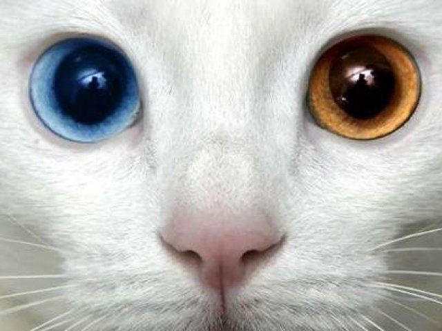 Qual gato de raça você seria?