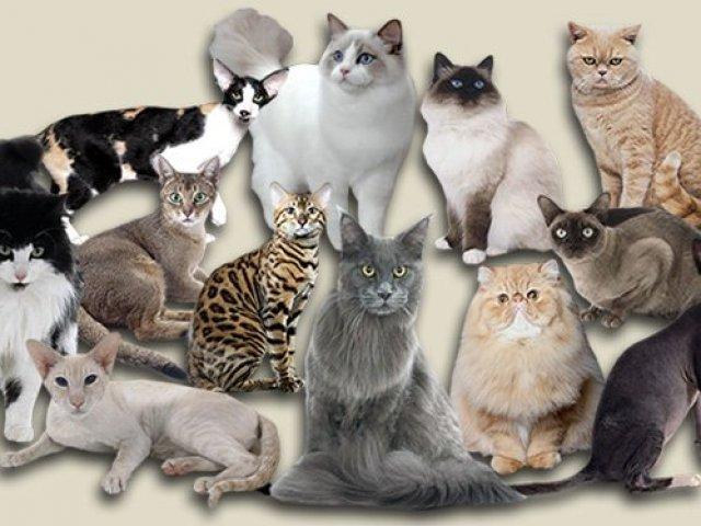 Top 12 raças de gatos mais exóticas