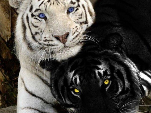 A Maldição Do Tigre Quiz E Testes De Personalidade Quizur