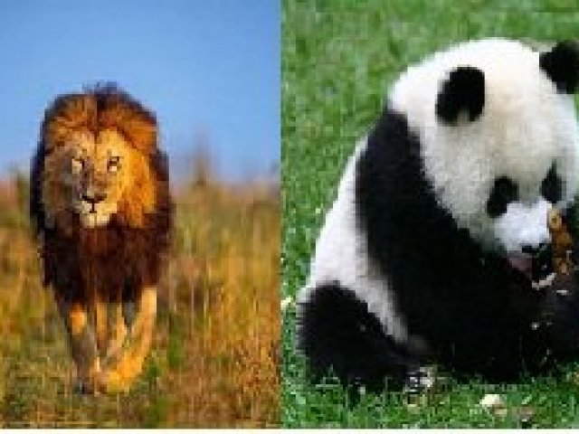 Você é mais panda ou leão?