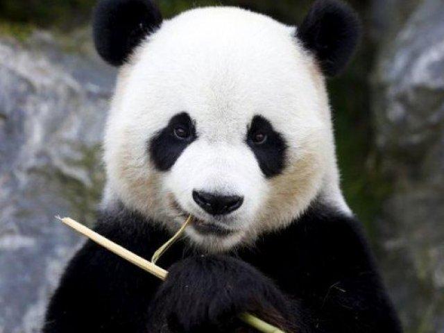 O quão bem você conhece os pandas?